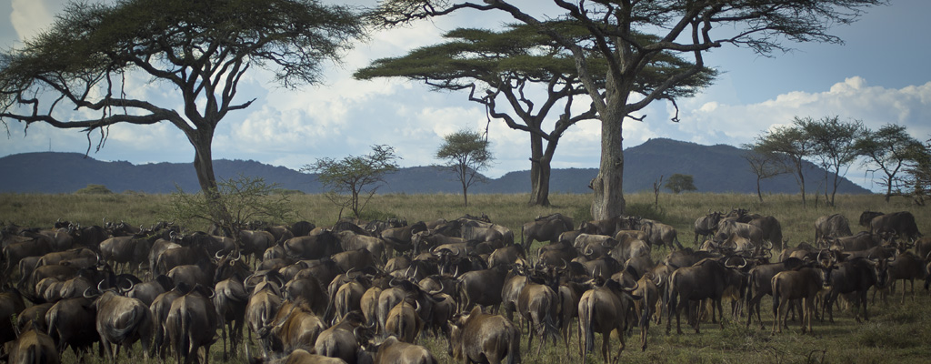 wildebeest migration masai culture tanzania